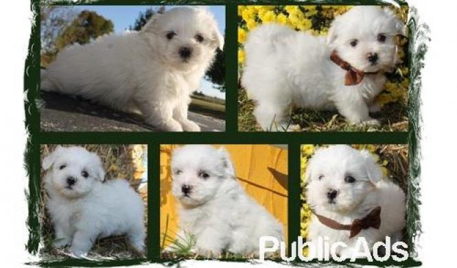 We have 6 sweet Maltese puppies for sale
