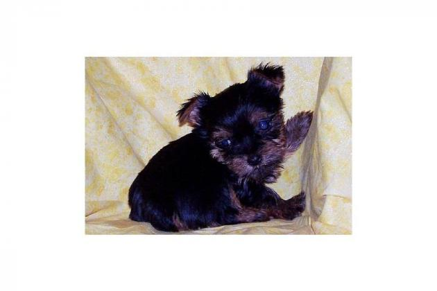 Yorkies Puppies looking for good home