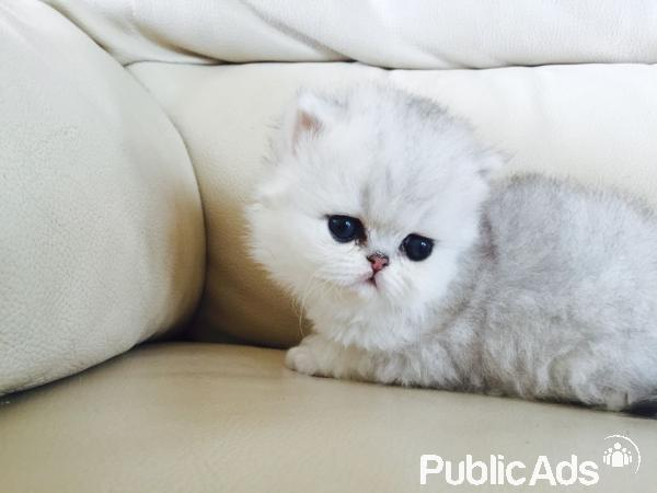 Persian cats for sale durban south africa