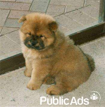 Pure Bred Chow Chow Puppies For Sale Cape Town Public