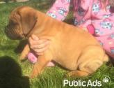 Healthy  Bullmastiff puppies for R 3000 Each
