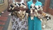 champions breed saint bernard puppies