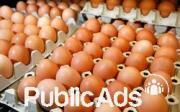 Fertile Parrots Egg of all kinds for Sale