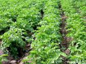 Fresh Potatoes, fresh vegetables good quality