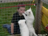 Gorgeous Siberian Husky pups available to approved home