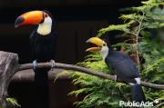 TOCO TOUCANS PAIR FOR A GREAT AND LOVELY HOME