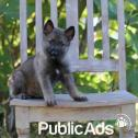 Trained German Shepherds for sale