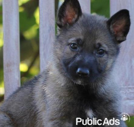 Beautiful, smart, healthy German Shepherds Puppies for Sale- 8 Weeks old
