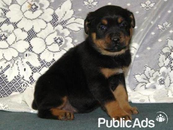 Gorgeous Rottweiler Puppies for Sale- 8 Weeks old