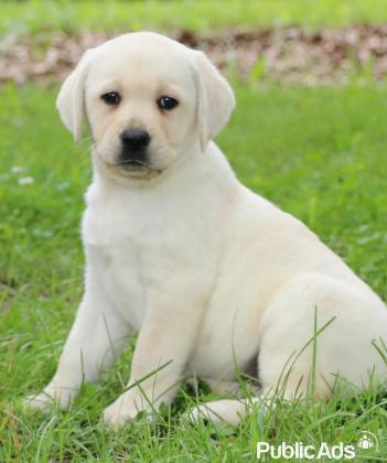 Beautiful Labrador retriever puppies available immediately