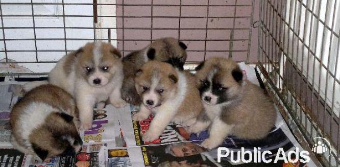 Beautiful litter of Akita pups