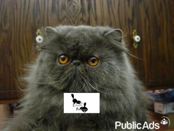 Beautiful Persian Kittens For Sale