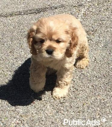 Male and Female Cocker Spaniel Puppies