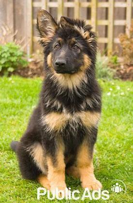 Energetic German shepherd puppies for sale