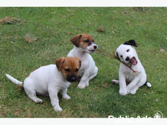Good looking 9 weeks old Jack Russell puppies