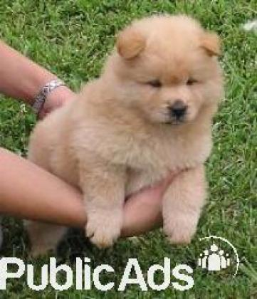 Gorgeous pure bred Chow Chow puppies - 8 weeks old