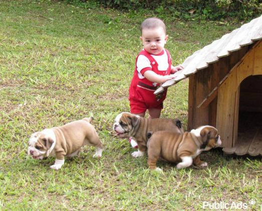 KUSA English Bulldog Puppies Champion Bloodlines