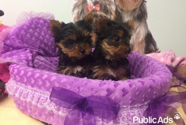stunning miniature Yorkshire terrier Puppies