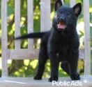 Beautiful, smart, healthy German Shepherds Puppies for Sale- 8 Weeks old