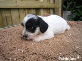Austrailian Terrier X Jack Russel