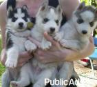 Blue eyed beauty Siberian husky puppies