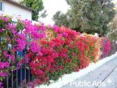 Bougainvilleas & Creepers