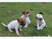Good looking 9 weeks old Jack Russell puppies