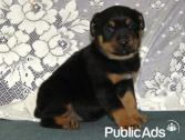 Gorgeous, Fluffy rottweiler Puppies 8 Weeks old