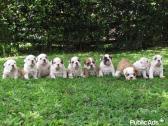 KUSA English Bulldog Puppies Champion Bloodlines