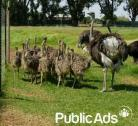 Ostriches for sale 3 months old