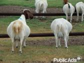 Outstanding Live Boer Goats And Sheep Available For Sale