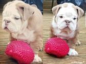 Stunning Kc Bulldog