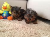 stunning miniature Yorkshire terrier Puppies
