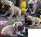 Adorable Purebred Pug Puppies