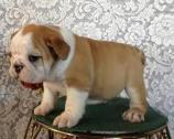 Purebred English Bulldog puppies available