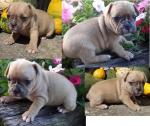 Adorable Purebred Pug Puppies