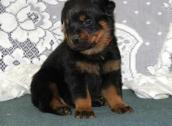 Rottweilers male and female puppies