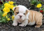 Purebred English Bulldog puppies available