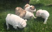 Gorgeous Miniature english bulldog Puppies