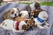 Gorgeous Miniature English Bulldog Puppies