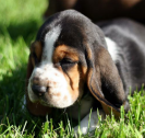 Wanted: Basset Hound Puppy