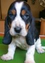 Wanted: Basset Hound Puppy