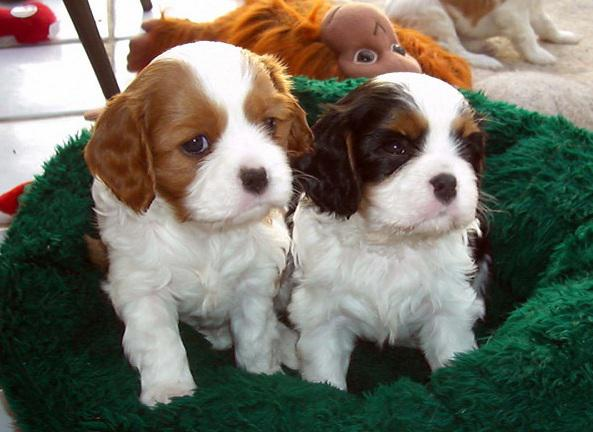 Cavalier King Charles Spaniel Puppies For Sale Pretoria North