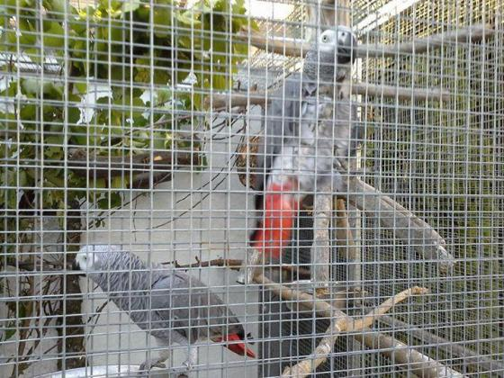 Adorable male and female African Gray Parrots