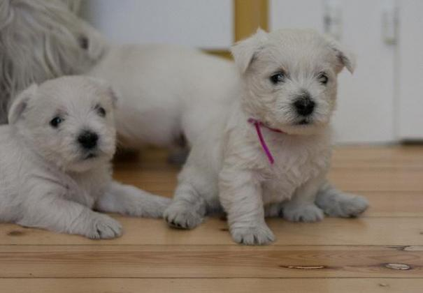 West Highland Terrier puppies for sale in Bethlehem, Free State