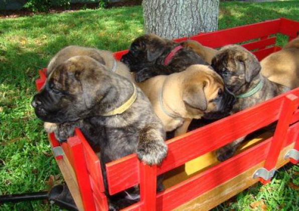 Healthy-strong Bullmastiff Puppies for sale