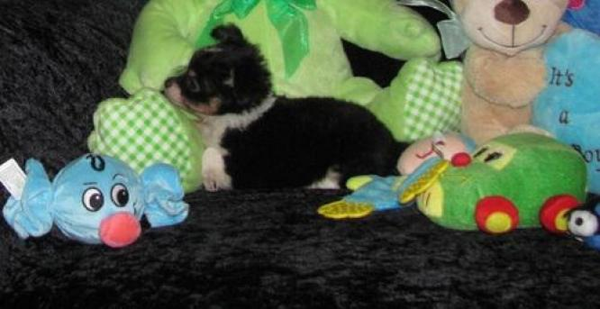 Adorable stunning PURE BRED Chihuahua puppies in Rustenburg, North West