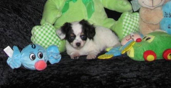 Adorable stunning PURE BRED Chihuahua puppies