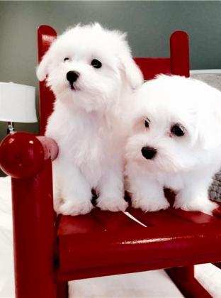 Approved Maltese Puppies