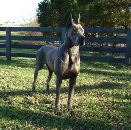 Big beautiful European Great Dane puppies